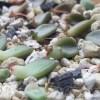 葉挿しした多肉植物にも新芽が出てきました… 鉢に定植するのはまだまだ先ですが、これからの生長がすごく楽しみです【oyageeの植物観察日記】