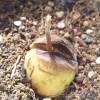 もう? ついに? とうとう? やっと? とにかく出ました、アボカドの芽!【oyageeの植物観察日記】