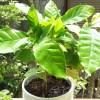 「世にも奇妙すぎる物語 '17 夏」 ─ コーヒーの木・真夏の夜のミステリー ─【oyageeの植物観察日記】