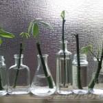 パキラの小枝は、スパイスの空ボトルや100均の小瓶に入れてかわいく飾ろう!【oyageeの植物観察日記】