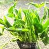 今度のポトスの品種は「緑の三角帽子」? これまでのポトス遍歴を一挙公開!【oyageeの植物観察日記】
