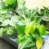 小型観葉植物のうち7種を厳選し、一斉に「根出しコンクール」開催! これにはある目的が…【oyageeの植物観察日記】