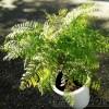 ジャンガ、ジャンガ、ジャンガ、ジャンガ、ジャカランダを植え替えるンダ!【oyageeの植物観察日記】