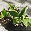 ついに!やっと!お待たせしました! サンセベリア三世代がとうとう分裂! それぞれミニ観葉植物として別居へ!【oyageeの植物観察日記】