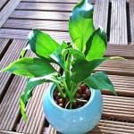 ダイソーのミニ観葉を100均グッズで楽しもう vol.8|水栽培できるスパティフィラムはまん丸のシュガーポットに! これ、な、なんと50円 !? 【oyageeの植物観察日記】