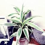 ダイソーのミニ観葉を100均グッズで楽しもう vol.10|スタイリッシュでオシャレなドラセナ・サンデリアーナはオシャレな街N.Y.風に!【oyageeの植物観察日記】