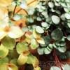 ワイヤープランツでもない、ブライダルベールでもない、不明の植物2品種を繁殖開始!【oyageeの植物観察日記】