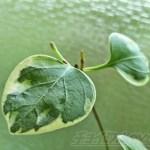 斑入りツルニチニチソウに根が出た!芽も出た! 寒くなるこれからの季節、室内での水栽培にチャレンジ!【oyageeの植物観察日記】