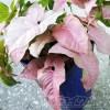 ピンクシンゴニウムって、育ててみたら意外と地味 !? そんなピンクシンゴニウムを派手に!なおかつ、豪華に見えるワザをご紹介!【oyageeの植物観察日記】