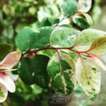 緊急事態発生! コバンノキの葉がパラパラ散ってます… ところで、「コバンノキ」ってどんな木?【oyageeの植物観察日記】