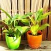 ダイソーのミニ観葉を100均グッズで楽しもう vol.11|あのビビットカラーの鉢は、フィロデンドロンでリベンジだ!【oyageeの植物観察日記】