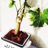 ダイソーのミニ観葉を100均グッズで楽しもう vol.13|貧相なポリシャスは小物使いでグレードアップ!「美しい植物はより美しく!そうでない植物はそれなりに?」【oyageeの植物観察日記】