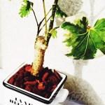 ダイソーのミニ観葉を100均グッズで楽しもう vol.13 貧相なポリシャスは小物使いでグレードアップ!「美しい植物はより美しく!そうでない植物はそれなりに?」【oyageeの植物観察日記】