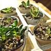 セリアのミニチュアバケツで「多肉植物の単体鉢」作り・第4弾! 徐々に増えてますが、まだまだ「タニ・コレ」開催は未定です… 【oyageeの植物観察日記】