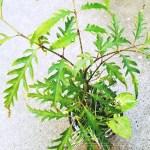 育ててる植物の中で寒さに一番弱いのは、サンセベリアでもなく、アローカシアでもなく、実はあの植物だった!?【oyageeの植物観察日記】