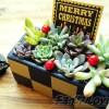 チャレンジ企画「多肉のミニ寄せ植えをX'mas ver.に!」|今夜は少しだけ気分を替えて、シックに「大人クリスマス!」 植え込む多肉は一緒ですけど…【oyageeの植物観察日記】