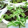 え?こんな真冬にツユクサ系植物3種(トラカン・ブラベー・ゼブリナ)の植え替えですか? そうなんです、一鉢も作ってなかったんです…【oyageeの植物観察日記】