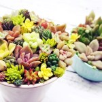 「春」を先取り!カラフルな鉢で多肉の寄せ植え・第9弾!|小さな多肉をチマチマ植え込む多肉丼!いろんな色で、「セブンティ・カラーズ・ガール」【oyageeの植物観察日記】