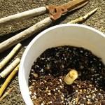 ウンベラータを切ってモォータ|枯れたウンベラータですが、復活へのかすかな望みを託して切ります!【oyageeの植物観察日記】