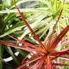 お久しぶりです、ドラセナです! そのドラセナ・レインボーに突然の訪問者… 「Babyカマキリの綱渡り」です。【oyageeの植物観察日記】