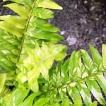 新入りシダの斑入り模様は、ちょっとばかり芸術作品ですぞ! 葉の中には葉がある、まさに「leaf in leaf」?【oyageeの植物観察日記】