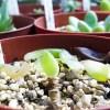 昨夏の悪夢、再び… 多肉の葉が意味なく半透明になり、勝手にポロッと落ちるのは、何が原因だ? 「原因究明は、なんだって早い方がいい!?」【oyageeの植物観察日記】
