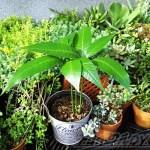 新しいジャンルにまた手を出してしまいました… 今回は果樹栽培! 「マンゴー」です! 実がなった暁には、なんて命名します?【oyageeの植物観察日記】
