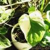 夏本番! モンステラの季節です! いよいよ大御所「斑入りモンステラ」の出番ですヨ!【oyageeの植物観察日記】