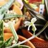 ストライプの花が、まるで「35億!」のブルゾンさんのよう !? スタイリッシュでオシャレな花を咲かせたのは、意外や意外、あの多肉でしたか…【oyageeの植物観察日記】