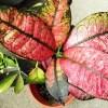 遮光シートが直撃したのは、一点ものの観葉植物… 大事な天芽が欠けちゃった… なんで、いつもこーなるの???【oyageeの植物観察日記】