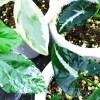 冬が来る前に… 観葉植物の怒涛の植え替え、スタート! 第1弾は、「斑入り」の3品種!!【oyageeの植物観察日記】