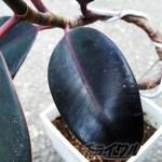 「世界で一つだけのゴムの木」を目指してたはずが、「世界一、ヘンなヘコミができたゴムの木」になっちゃった?【oyageeの植物観察日記】