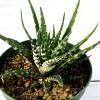 多肉植物「ハオルチア・チョベリバ」の特徴と育て方|【多肉カタログ・品種別紹介】