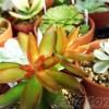 涼しくなって段々と色づく多肉たち… 「紅葉」一番乗りは、アドルフィーコッパーくん!【oyageeの植物観察日記】