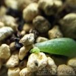 「女雛錦」の葉挿しから出た小さな小さな新芽を、100均のマクロレンズで覗いてみよう! 小さな芽でも、斑があるのか、ないのか?【oyageeの植物観察日記】