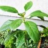 アボカドの木、2度目の冬へ突入! アボカド栽培にとっておきの情報を入手したので、いつかは本当に実がなったりして??【oyageeの植物観察日記】