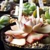 「室内で過保護に育ったピンクザラゴーサって、外へ出しておけば、きれいなピンク色になるのか?」を実験!【oyageeの植物観察日記】