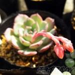 植物好きだけど、多肉には興味ない人から決まって言われる言葉… 「サボテンね!」「花、咲くの?」の対処法とは?【oyageeの植物観察日記】