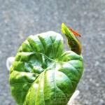 ウンベラータが元気データ!|冬の間、葉が1枚しかなかったウンベラータが復活してきてます!【oyageeの植物観察日記】