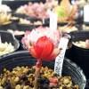 「頑張れ、リンゴ火祭り!」 火祭りでも、リンゴのように真っ赤になるのは「ただの火祭り」なので、ご注意を!【oyageeの植物観察日記】