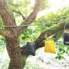 大きな柿の木の下で、捕らわれたセミを助けたら? これは日本昔話? 「セミの恩返し」ってやつですか?【oyageeの植物観察日記】