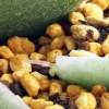 新春、あっちもこっちも芽が出て、「芽(め)出(で)たい!」 これが、多肉の醍醐味! そして、葉挿しの面白さ!【oyageeの植物観察日記】