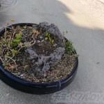 ヤな予感的中!? ほら! アロエオヤジがまたヘンなものを持ってきた! 月か火星に行って隕石でも拾ってきたんですか???【oyageeの植物観察日記】