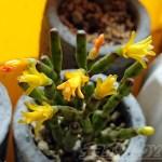 多肉の花って、嫌い? いらない? 興味ない!? だけど、中にはこんなにきれいな花が咲く多肉があるんです!【oyageeの植物観察日記】
