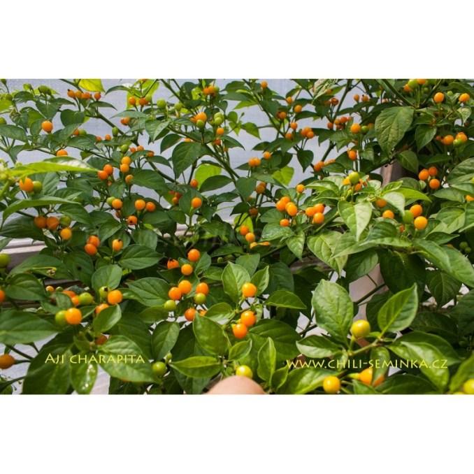 , Pěstování Paprik: Bez Problémů Se Urodí Ano I V Pytli