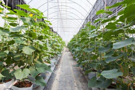 , Pěstování Ve Skleníku: Okurky, Rajčata, Papriky, Réva, Salát, Kedlubny