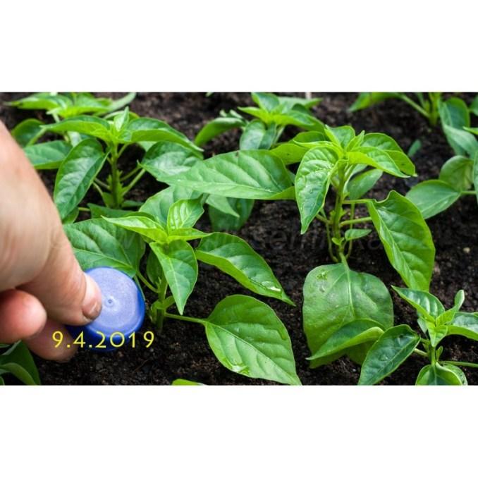 , Pěstování Rajčat A Paprik V Nádobách Na Balkóně A Terase
