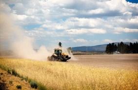 A California wheat field