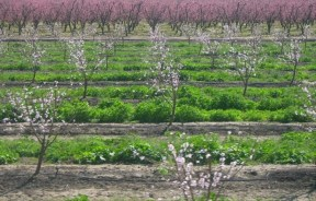 """A """"thirsty"""" almond orchard in California. (Photo: Bn100)"""