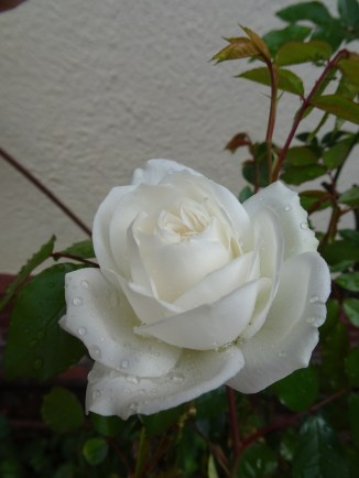 Kitchen Wall Rose Bed - 21 September 2016
